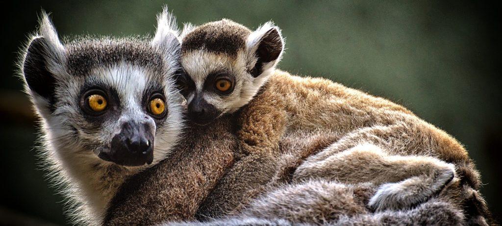 Opice Lemur